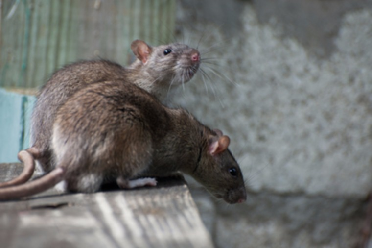 Rat & Souris